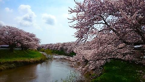 20150415太平川沿いの桜3