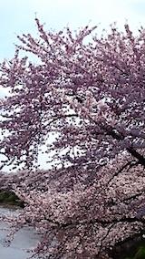 20150415太平川沿いの桜4