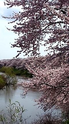 20150415太平川沿いの桜7
