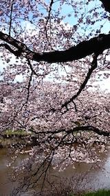 20150415太平川沿いの桜5