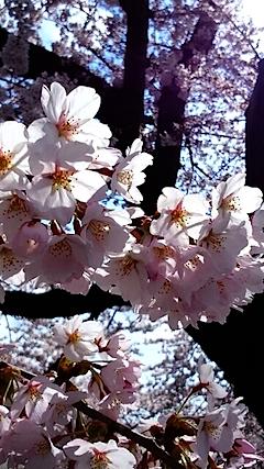 20150415太平川沿いの桜8