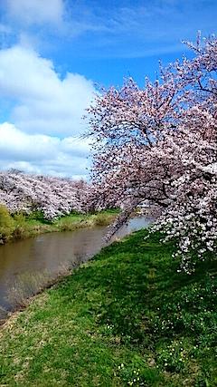 20150415太平川沿いの桜12