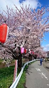 20150415太平川沿いの桜6