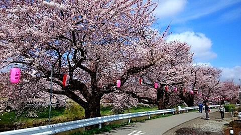 20150415太平川沿いの桜16