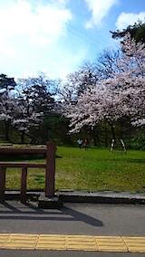 20150415千秋公園前の桜1