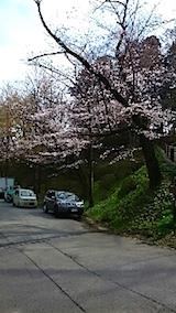 20150415千秋公園の桜