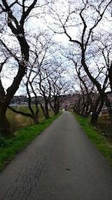 20150415旭川沿いの桜1