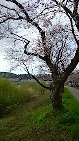 20150415旭川沿いの桜2