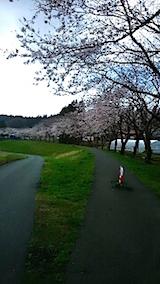 20150415旭川沿いの桜3