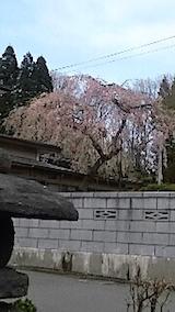 20150415山へ向かう途中の様子枝垂れ桜