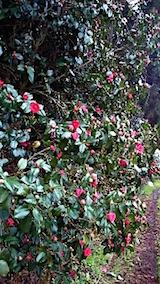 20150415山の様子ツバキの花