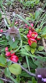 20150415山の様子ボケの花