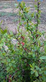 20150415山の様子ボケの葉