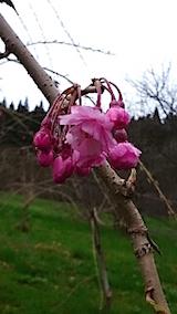 20150415八重紅枝垂れ桜の花