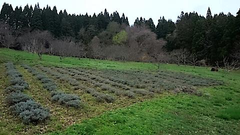 20150415ラベンダー畑の様子