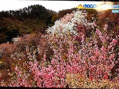 20150415福島市花見山公園3