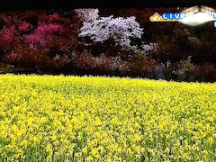 20150415福島市花見山公園4