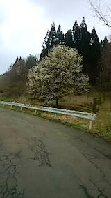 20150416山へ向かう途中の様子峠道のこぶしの花