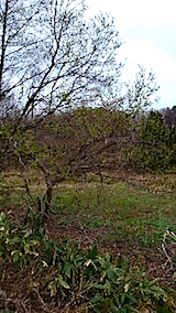 20150416樹木の芽吹き