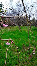 20150416八重紅枝垂れ桜の開花2