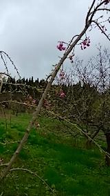 20150416八重紅枝垂れ桜の開花3