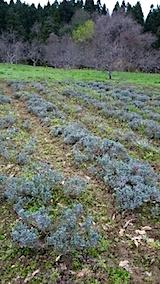 20150416ラベンダー畑の草取りと傷んだ枝の刈り取り作業1