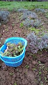 20150416ラベンダー畑の草取りと傷んだ枝の刈り取り作業2