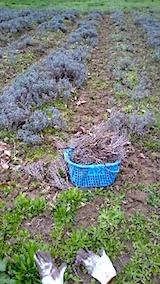 20150416ラベンダー畑の草取りと傷んだ枝の刈り取り作業4