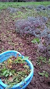 20150416ラベンダー畑の草取りと傷んだ枝の刈り取り作業5