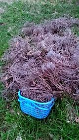 20150416ラベンダー畑の草取りと傷んだ枝の刈り取り作業7