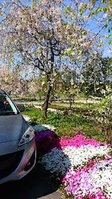 20150429喜多方の枝垂れ桜1