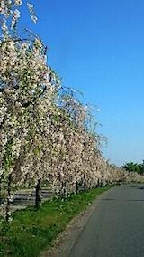 20150429喜多方の枝垂れ桜2