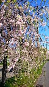 20150429喜多方の枝垂れ桜3