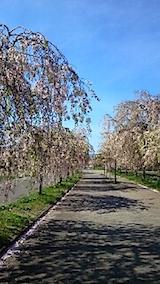 20150429喜多方の枝垂れ桜4