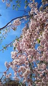 20150429喜多方の枝垂れ桜5