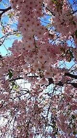 20150429喜多方の枝垂れ桜6