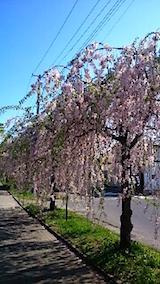 20150429喜多方の枝垂れ桜7