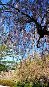 20150429喜多方の枝垂れ桜8