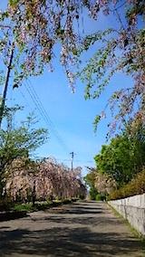 20150429喜多方の枝垂れ桜9