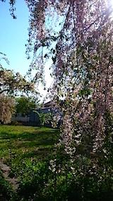 20150429喜多方の枝垂れ桜12