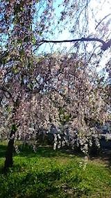 20150429喜多方の枝垂れ桜13
