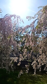 20150429喜多方の枝垂れ桜14
