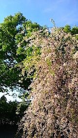 20150429喜多方の枝垂れ桜16