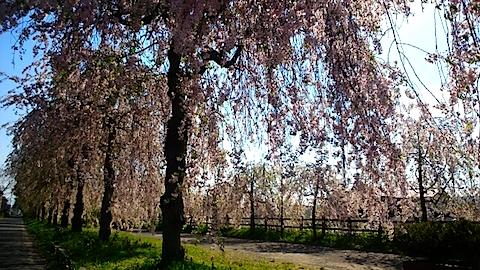 20150429喜多方の枝垂れ桜15