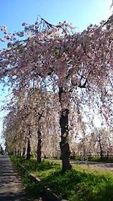 20150429喜多方の枝垂れ桜17