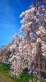 20150429喜多方の枝垂れ桜18