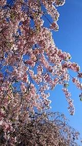 20150429喜多方の枝垂れ桜19