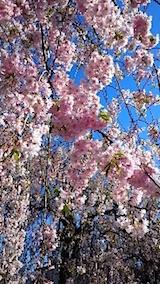 20150429喜多方の枝垂れ桜20