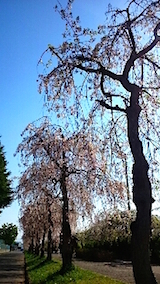 20150429喜多方の枝垂れ桜21