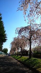 20150429喜多方の枝垂れ桜23